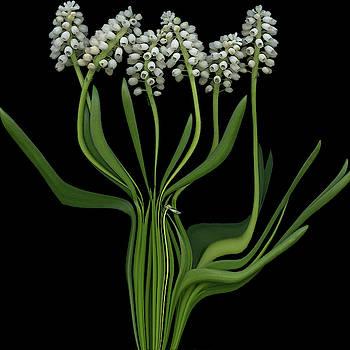 White Grape Hyacinths by Carel Schmidlkofer