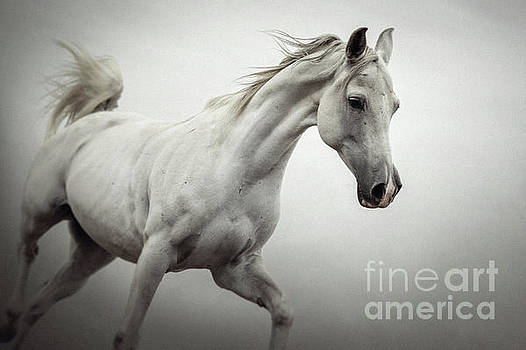 White Horse on The White Background Equestrian Beauty by Dimitar Hristov
