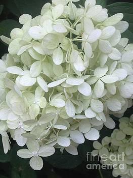 White Hydrangea by Kim Sy Ok