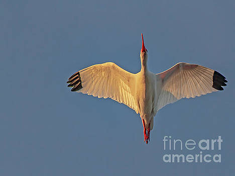 White Ibis by Blair Howell