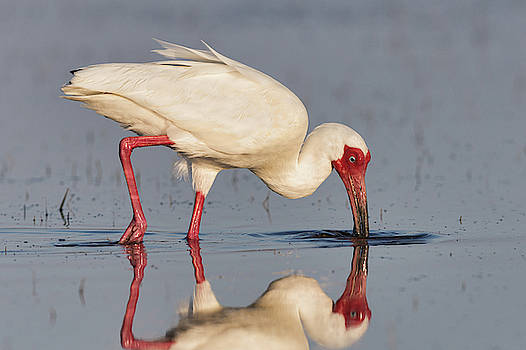 White Ibis with Scarlet Face by Jerry Fornarotto