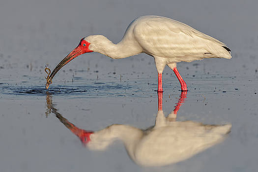 White Ibis with Worm by Jerry Fornarotto