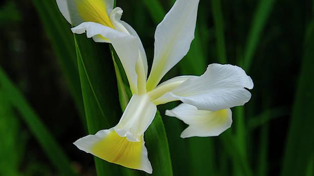 White Iris by August Timmermans