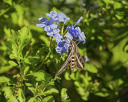 Rosemary Woods-Desert Rose Images - White-lined Sphinx Moth-IMG_193018