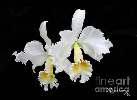 White Orchid Duo by Mariarosa Rockefeller
