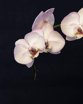 White Orchids on Blue Background by Susan Schmidt
