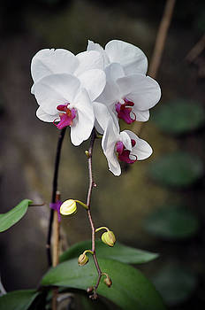 White Orchids  by Savannah Gibbs