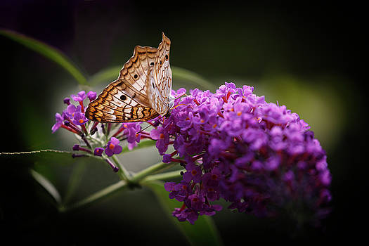 White Peacock Butterfly On Lilac by Wes and Dotty Weber