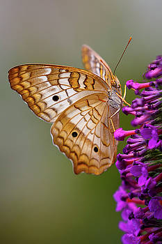 White Peacock Butterfly on Purple by Wes and Dotty Weber