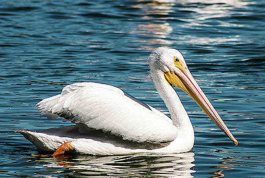 White Pelican On Lake Morton by Norman Johnson