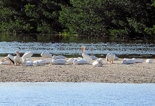 White Pelican Rest by Rosalie Scanlon