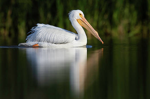 White Pelican swimming by by Bryan Keil