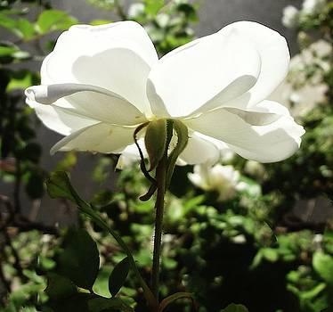 White Petals by Bruce Iorio