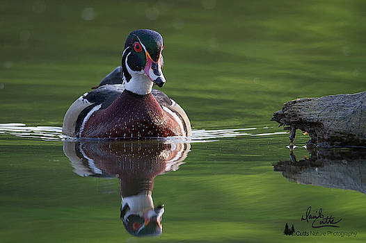 White Rock Wood Duck by David Cutts