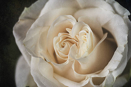 White Rose by Cindi Ressler