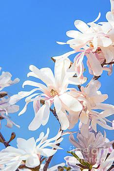 Regina Geoghan - White Star Magnolia Blossoms
