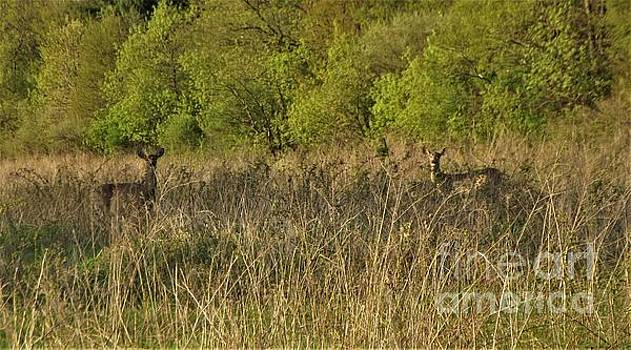 White Tailed Deer Pair In Meadow              May             Indiana by Rory Cubel