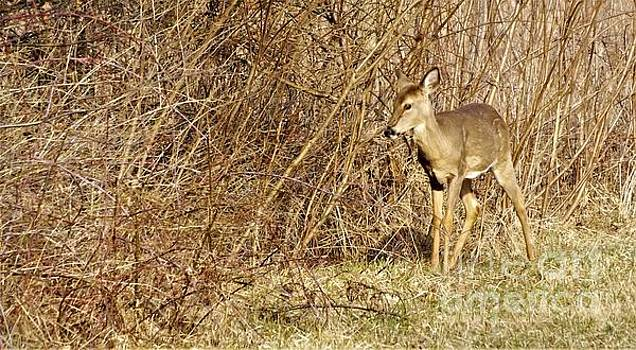 White Tailed Doe             Spring            Indiana by Rory Cubel
