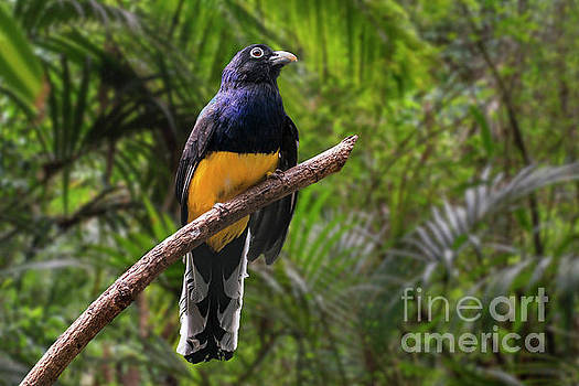 White-tailed Trogon by Arterra Picture Library