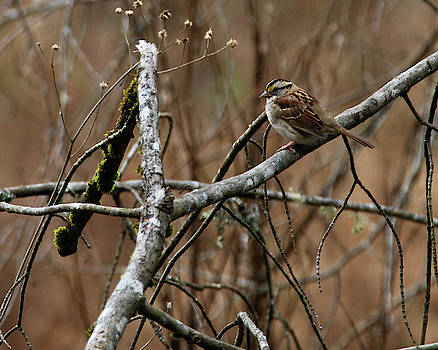 White Throated Sparrow by Seth Solesbee