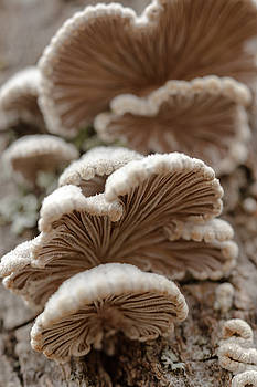 White Turkeytail Mushroom by Iris Richardson