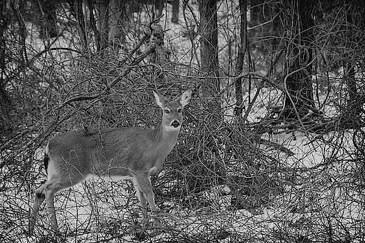 Whitetailed Deer at Stoney Creek by LeeAnn McLaneGoetz McLaneGoetzStudioLLCcom