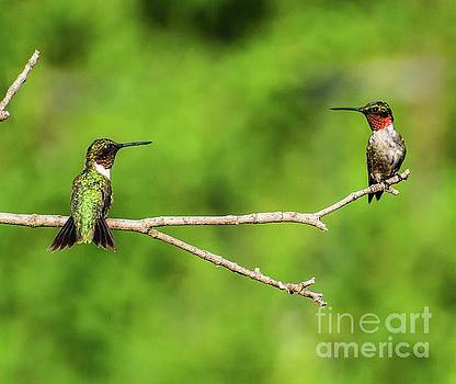 Cindy Treger - Who Said Two Male Ruby-throated Hummingbirds Can