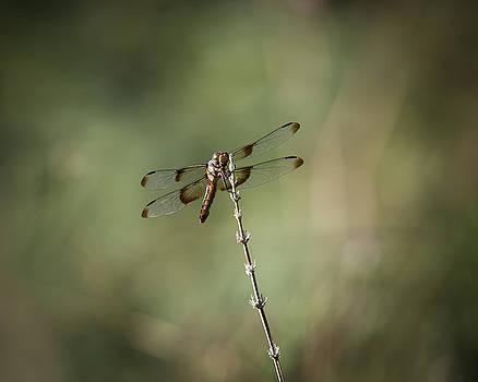 Rosemary Woods-Desert Rose Images - Widow Skimmer Dragonfly-IMG_237118