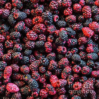 Tim Hester - Wild Blackberries Background
