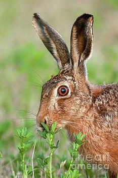 Simon Bratt Photography LRPS - Wild brown hare close up eating
