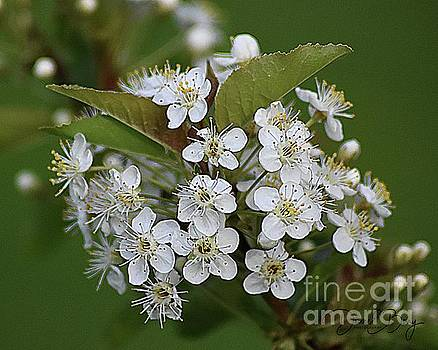 Wild Cherry Blossoms by Diane E Berry