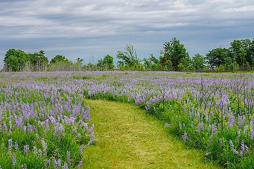 Wild Lupines Trail by Susan Rydberg