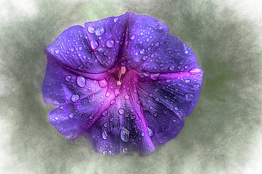 Wild Morning Glory after the Rain by Mitch Spence