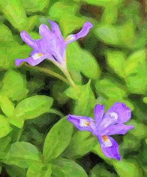 Wild Mountain Iris 8 by Cathy Lindsey