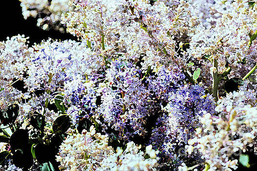 Wild Mountain Lilac by Pamela Moran