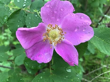 Wild Rose by Norman Burnham