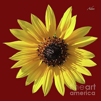 Felipe Adan Lerma - Wild Sunflower