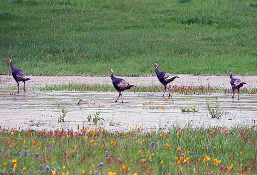Wild Turkey by Anthony Jones