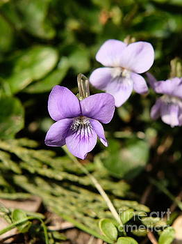 Wild Violets by John Chatterley