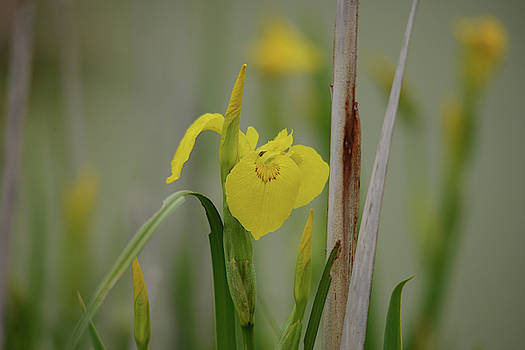 Wild Yellow Iris by Whispering Peaks Photography