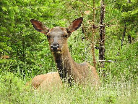 Wildlife Jasper National Park Alberta Canada by Art Sandi