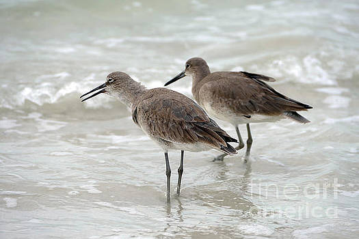 Willets on a Florida Beach by Catherine Sherman