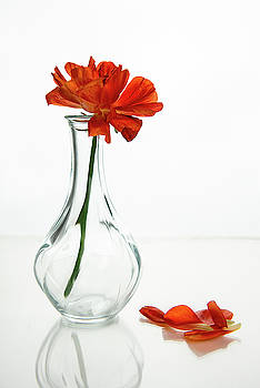 Wilted gazania red flower on a glass vase.  by Michalakis Ppalis