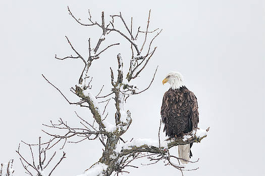 Winter and Bald Eagle by Scott Bean