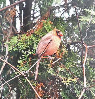 Winter Cardinal by Lori Moon