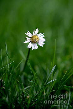 Winter Daisy by John Chatterley