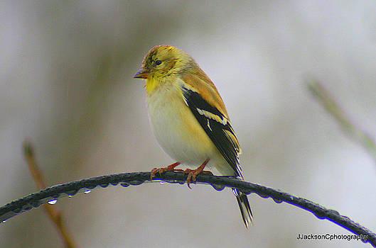 Winter Goldfinch by Jonathan Jackson Coe