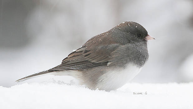 Winter Junco by Diane Giurco