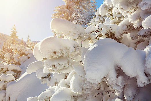 Winter landscape, pine tree covered by snow lit by morning sun by Lukasz Szczepanski