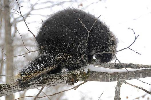 Winter Porcupine by Sandra Updyke